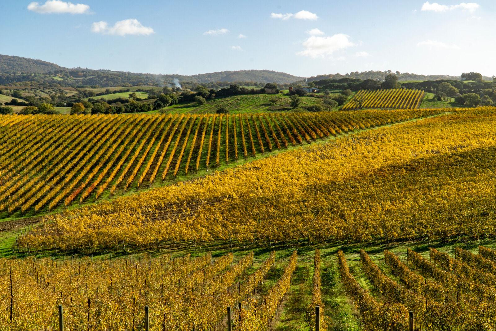 Italy Grosseto maremma Scansano, cultivation of Morellino di Scansano vine, autumn colors.